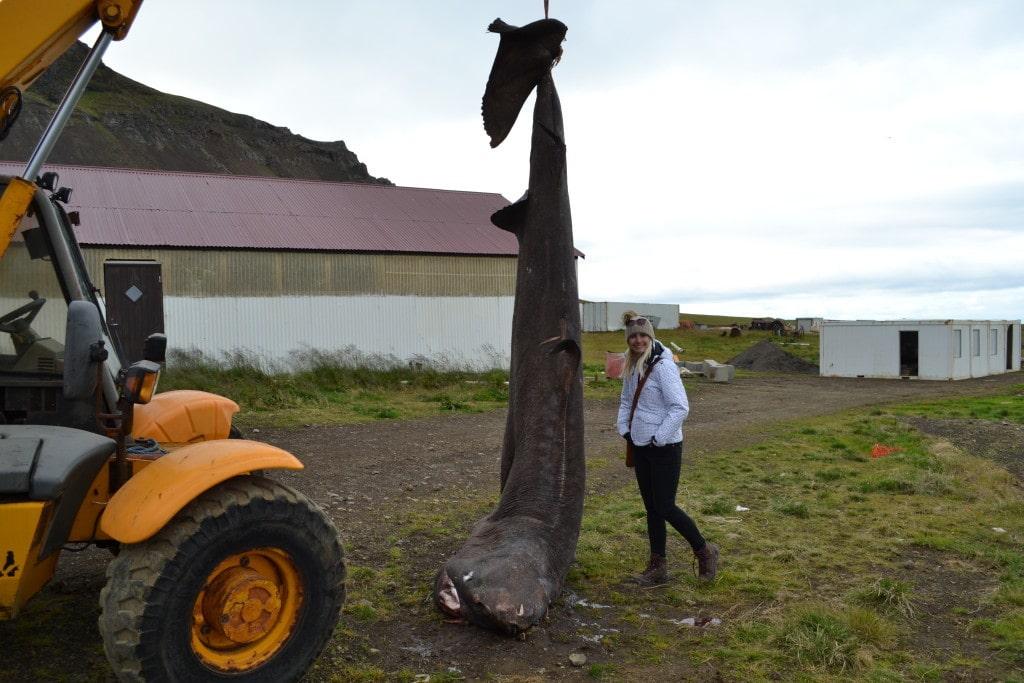 Grönlandhai in Bjarnarhöfn
