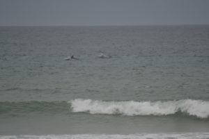Delfine in Jeffreys Bay