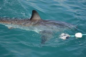 Südafrika - weißer Hai