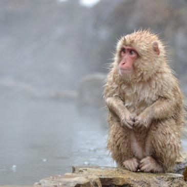 Jigokudani – wo wilde Affen in heißen Quellen baden